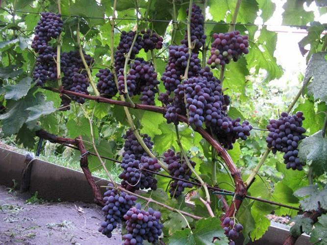 Виноград юпитер: характеристика, посадка, уход - общая информация - 2020