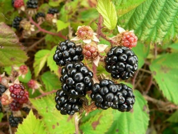 Как выращивать ежевику: история культуры, агротехника, защита от болезней и вредителей