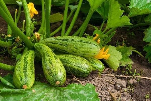 Выращивание кабачков в открытом грунте: пособие для начинающих садоводов