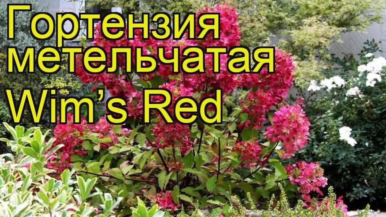 Гортензия вимс ред: качества и характеристики растения