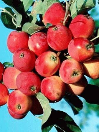 Колоновидные яблони: сорта, посадка и уход