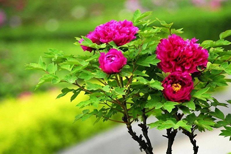 Пион древовидный: лучшие сорта, правила ухода и выращивания
