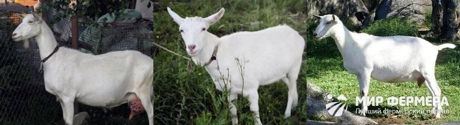Особенности зааненской породы коз, фото