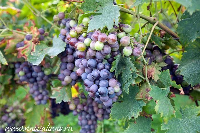 Какой сорт винограда лучше для вина?