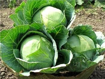 Грядка для посадки капусты, какая земля нужна, как подготовить почву