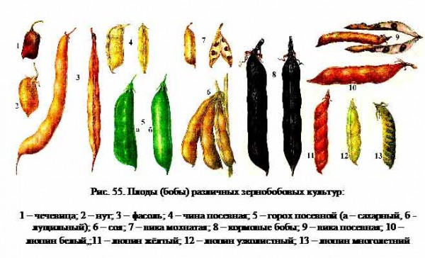 Все о бобе: как выглядит культура, описание и характеристики видов и сортов