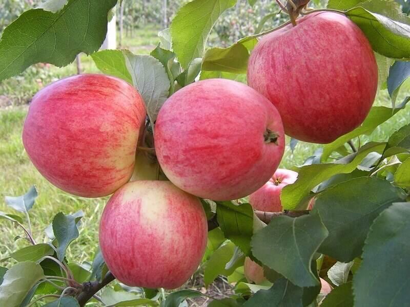 Как правильно сделать привои и подвои для яблони?