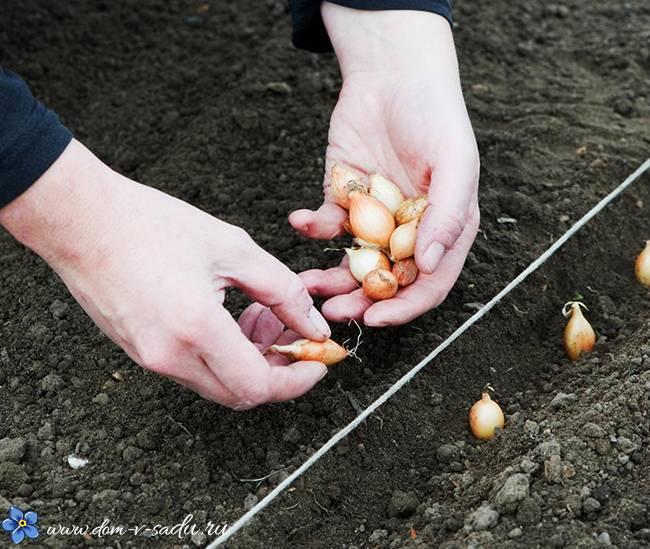 Когда правильно сажать лук севок в апреле месяце 2019 года