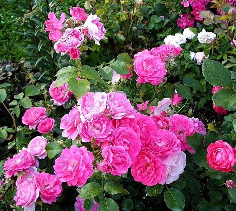 приказу здесь розы парковые сорта фото и описание этого указанном месте