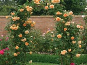 Роза полька (polka) — особенности популярного цветка