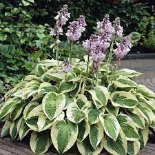 Как цветет хоста? 26 фото можно ли пересаживать хосту во время цветения? нужно ли обрезать цветы?