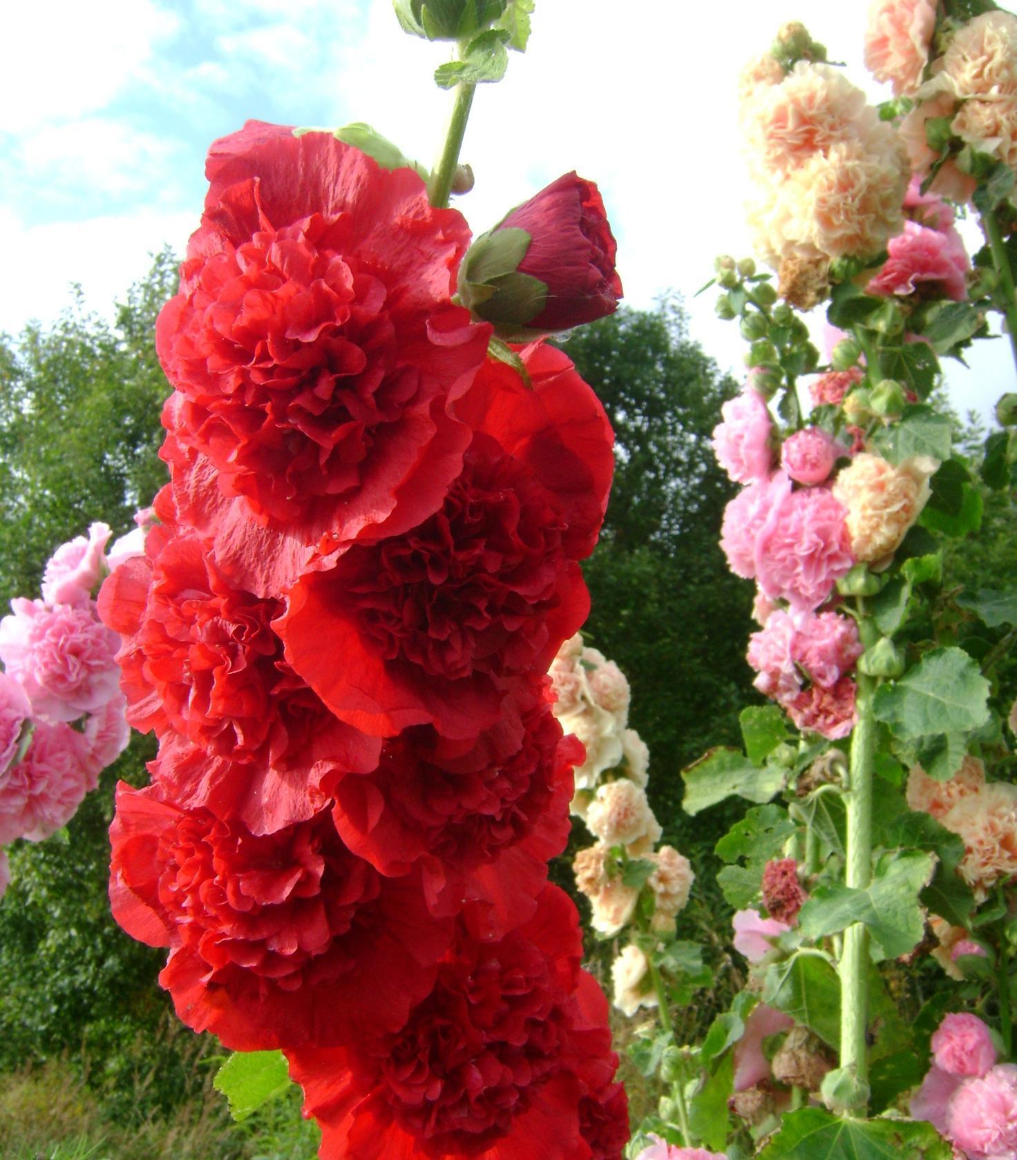 Мальва – шток-роза, но не роза