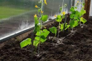 Опилки вместо почвы: особенности выращивания рассады