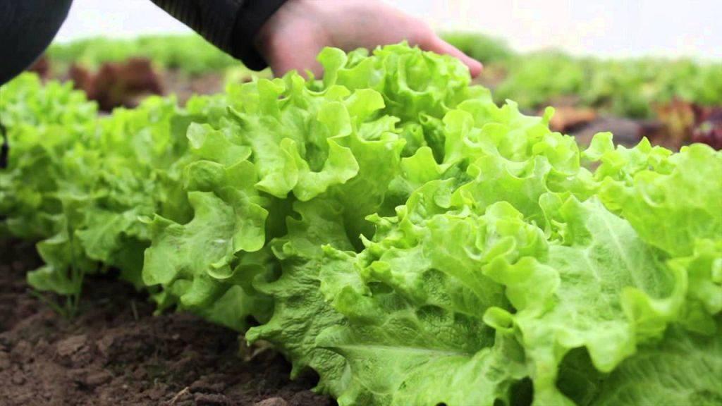 Похрустим? салат айсберг — выращивание на даче