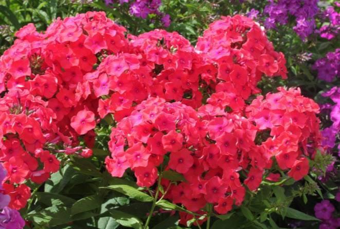 Уход за флоксами: виды цветов, правила посадки, дальнейшего ухода