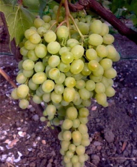 Подробное описание и правила агротехники винограда лидия