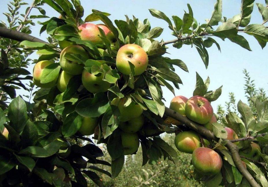 Дополняем любимый сад морозостойкой яблоней под названием «брат чудного»