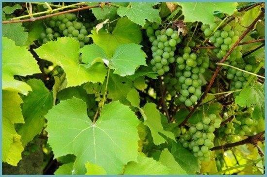 Как вырастить виноград в ленинградской области в теплице и открытом грунте, посадка и уход
