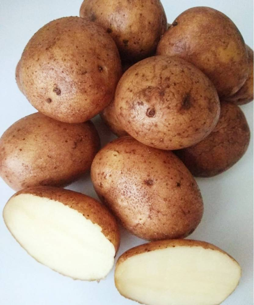Сорт картофеля «бернина» – описание и фото