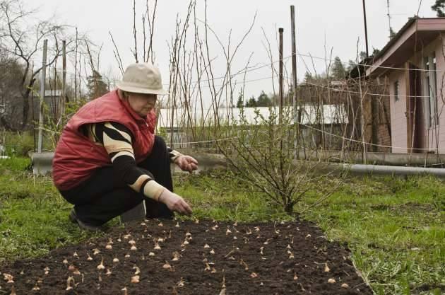 Советы огородникам: как обрезать лук правильно и получить желаемый урожай?