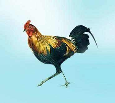 Рецепты дикая курица