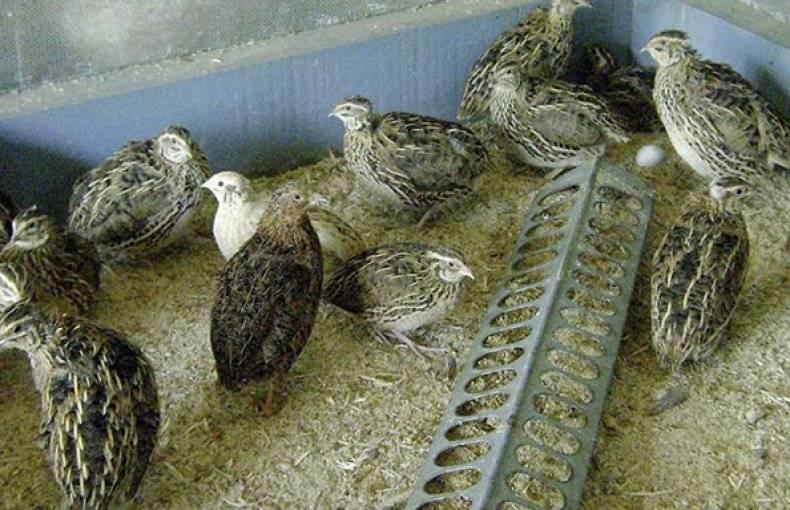 В каком возрасте перепела начинают нести яйца