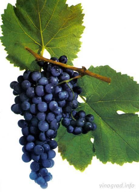 Сорт винограда саперави: описание и особенности