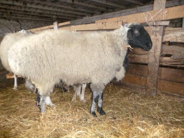 Ценные курдючные овцы