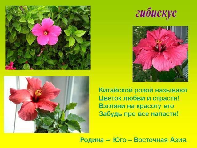 Почему китайскую розу называют цветком смерти и что это за культура? можно держать ее дома или нельзя?