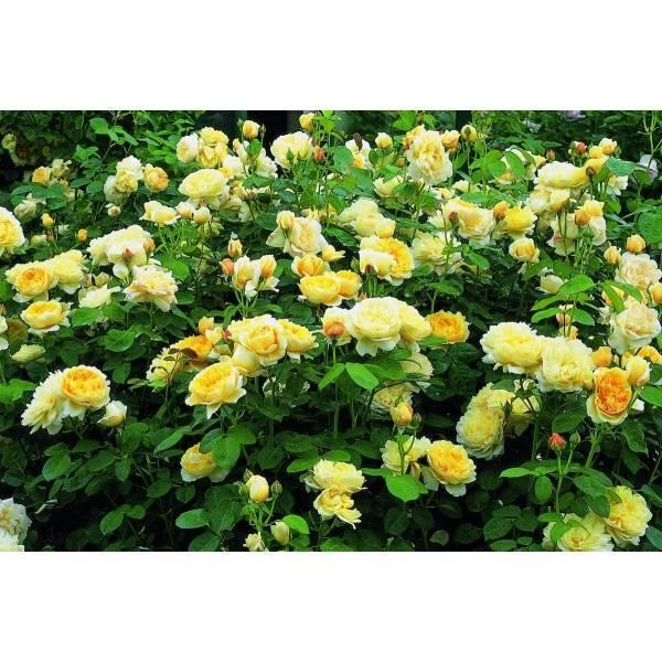 Особенности английской сортовой розы шарлотта: посадка и уход за гибридом