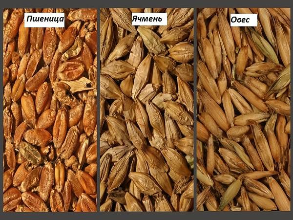 Правила кормления и заготовки пшеницы для кроликов