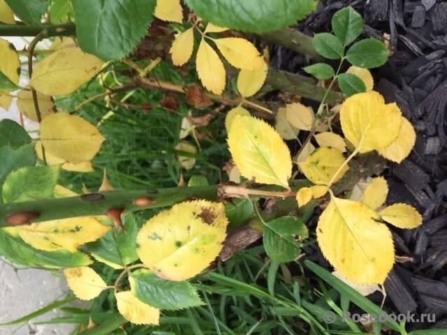 Желтеют и опадают листья у китайской розы: что делать, если комнатный гибискус вянет в горшке? по каким причинам он сбрасывает листья зимой? тонкости ухода в домашних условиях