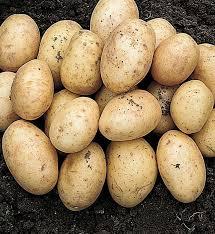 """Сорт картофеля """"скарб"""": описание, характеристика, урожайность"""
