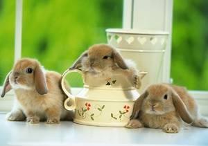 Нужно ли кастрировать декоративного кролика
