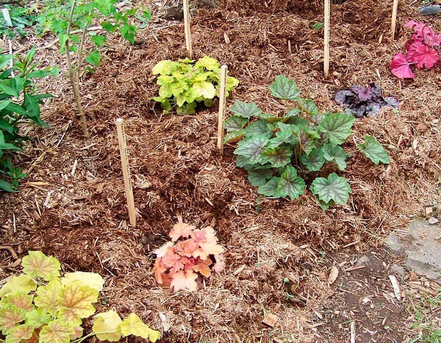 Гейхера в ландшафтном дизайне: посадка, выращивание растения из семян в открытом грунте и последующий уход