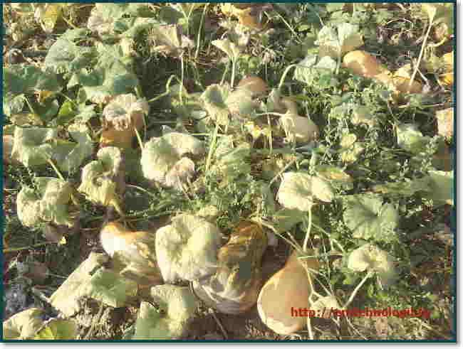 Тыква: уход и выращивание в открытом грунте