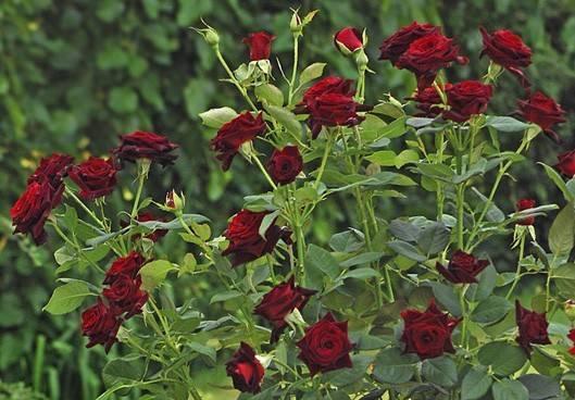 Чайно-гибридная роза блэк баккара