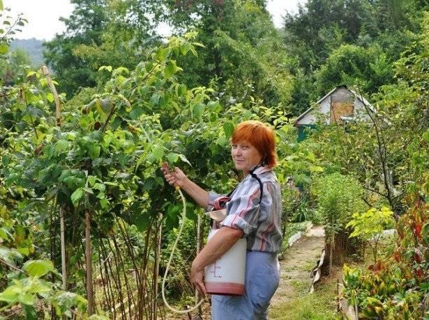 Подкормка малины для большого урожая