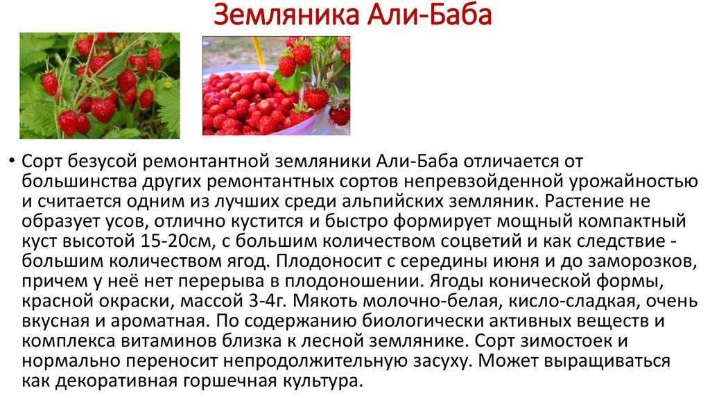 О сорте земляники Али Баба: описание, особенности выращивания, как ухаживать