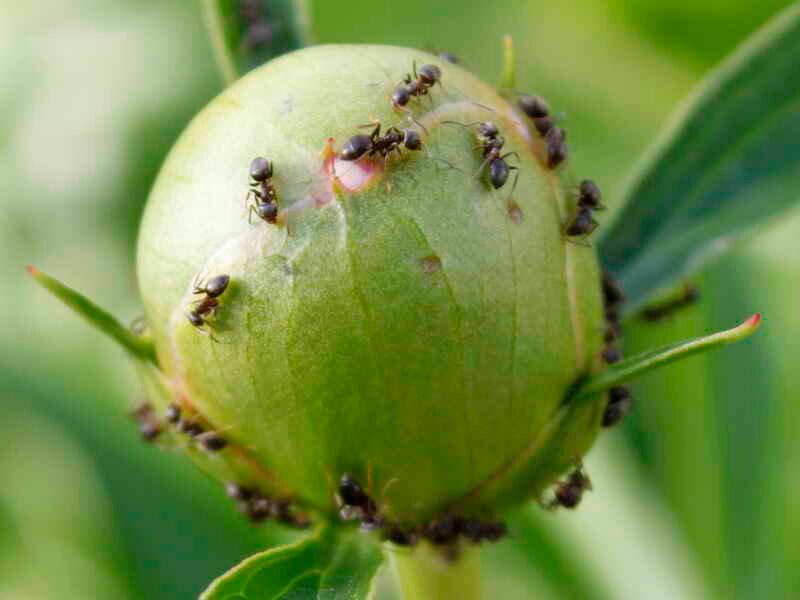 Муравьи на пионах: как избавиться