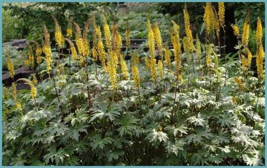 Бузульник: описание, виды, сорта, выращивание, уход, посадка, фото, растюнька