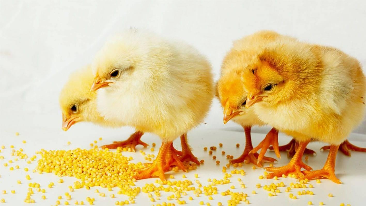 Как вырастить цыплят, покупка, уход за цыплятами