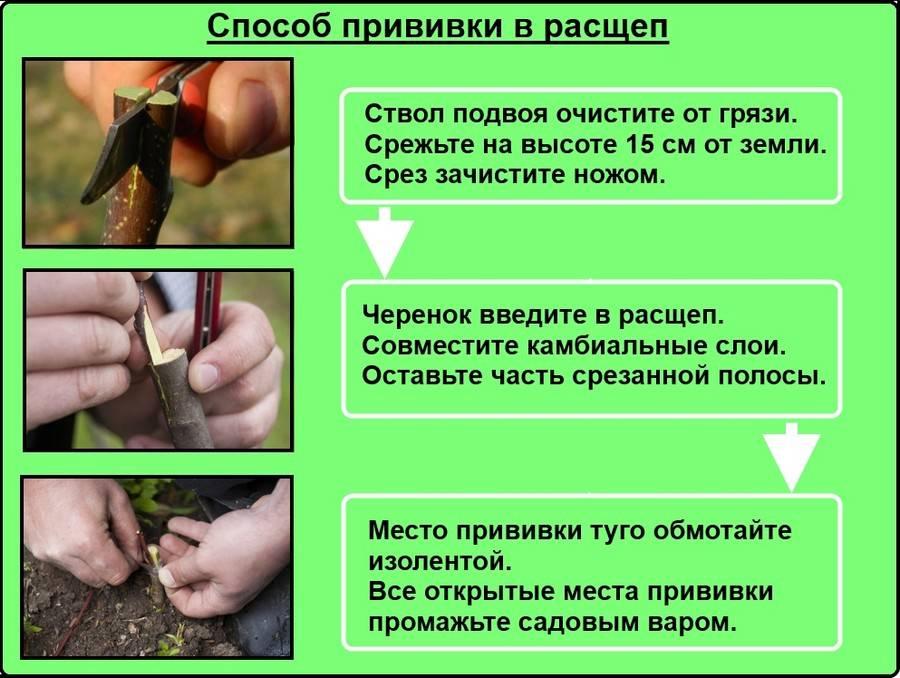 Вырастить черешню из косточки. - как из косточки вырастить черешню - запись пользователя к@тя (bitalia) в сообществе сад, огород в категории кустраники и плодоносные деревья. - babyblog.ru