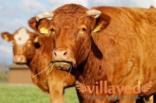 Понос у коровы лечение в домашних условиях