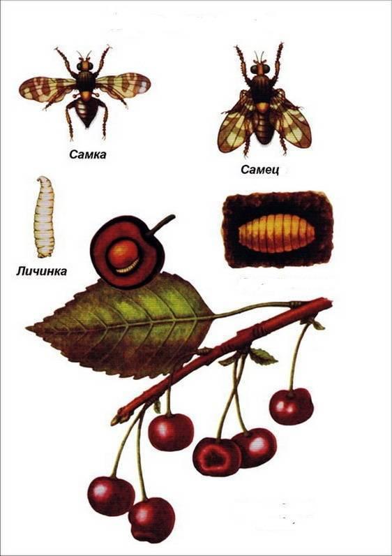 Вишневая муха: признаки и лучшие методы борьбы, правила обработки, что делать