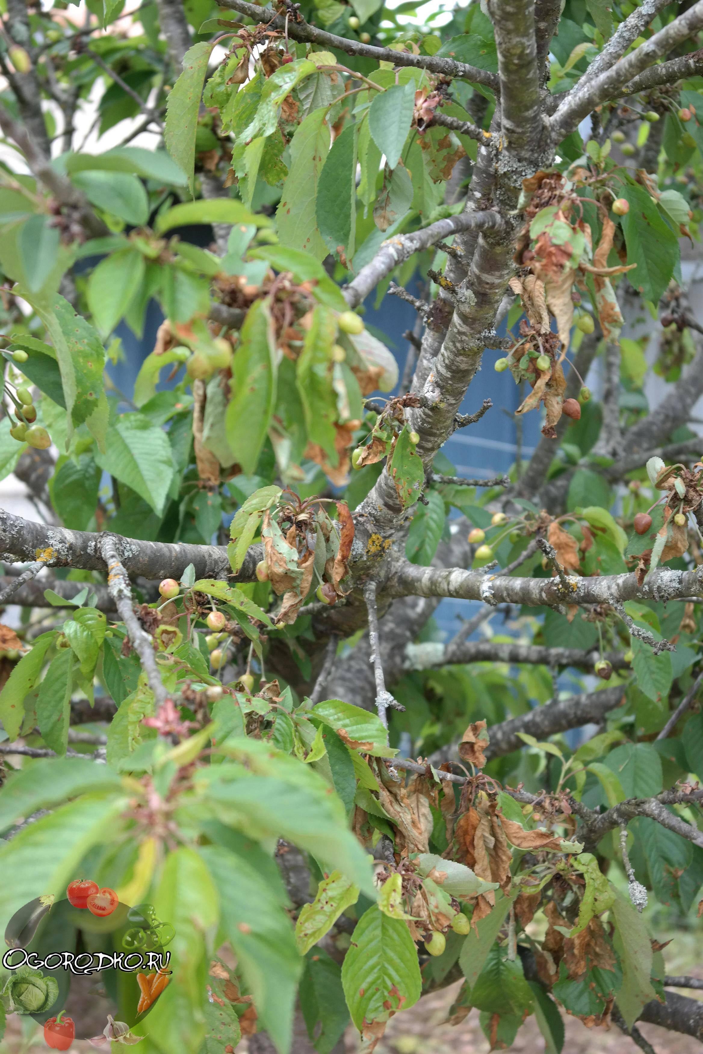 Меры борьбы с коккомикозом вишни: лечение, фото, чем обработать вишню от коккомикоза весной и летом