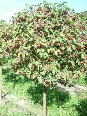 Как посадить яблоню и ухаживать за ней, чтобы она плодоносила много лет: советы и рекомендации (фото & видео) +отзывы