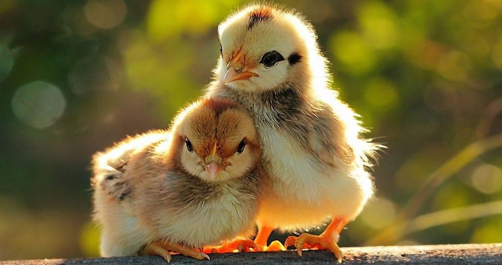Понос у цыплят, причины, симптомы и лечение диареи - общая информация - 2020