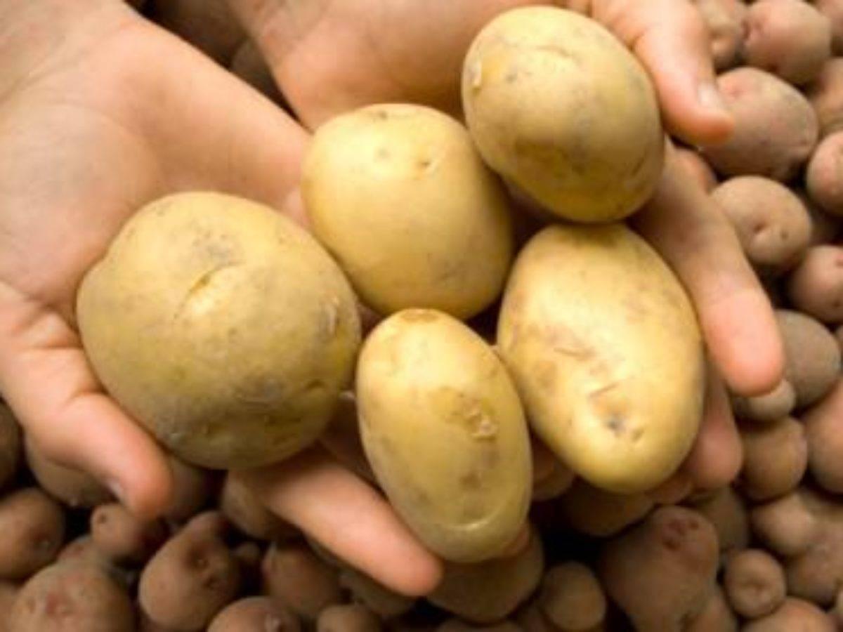 60-дневный картофель «триумф»: описание сорта для любителей ранней картошки