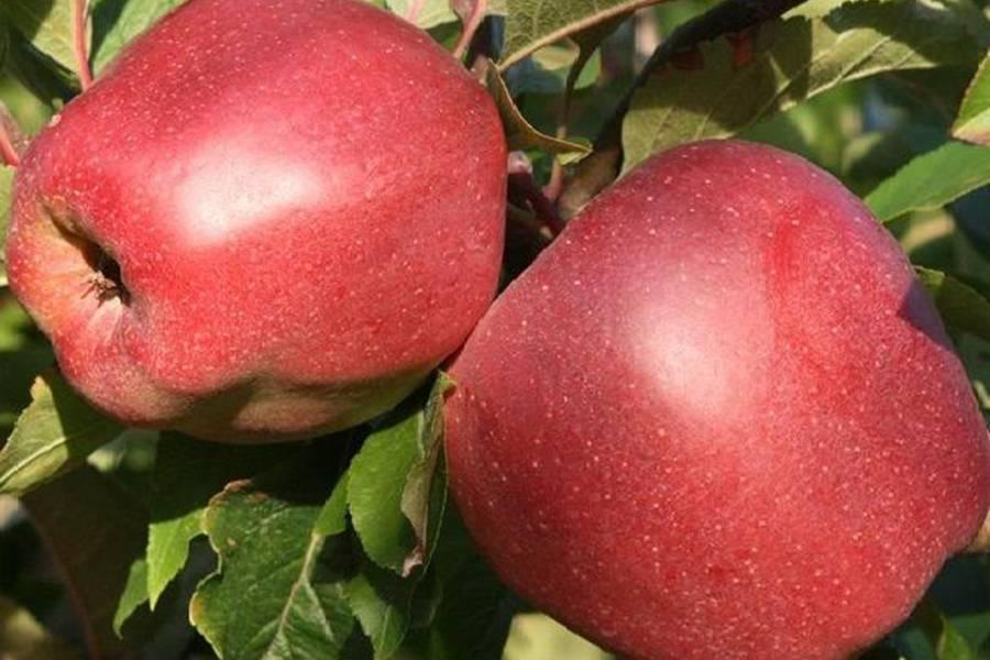 О яблоне Глостер: описание и характеристики сорта, посадка и уход